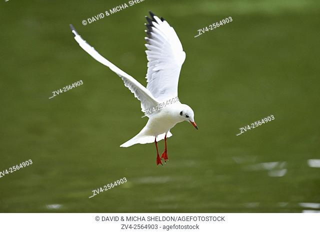 Close-up of a black-headed gull (Chroicocephalus ridibundus) landing into a little lake in summer