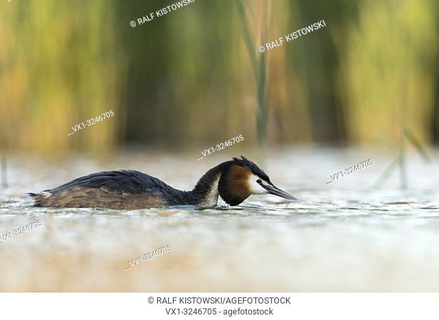 Great Crested Grebe / Haubentaucher ( Podiceps cristatus ) swimming on a lake, in flatten pose, searching for partner, at dusk, wildlife, Europe