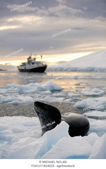 An adult Leopard Seal Hydrurga leptonyx hauled out with The National Geographic Endeavour at sunset in the Lemaire Channel near the Antarctic Peninsula