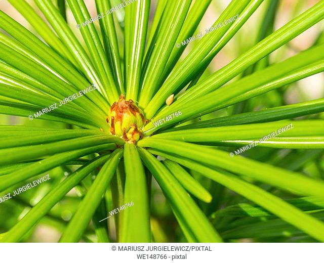 Japanese umbrella-pine (Sciadopitys verticillata) is a unique conifer endemic to Japan. It is the sole member of the family Sciadopityaceae and genus...