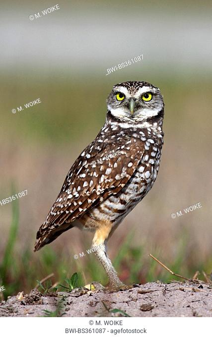 burrowing owl (Athene cunicularia), stands on the ground, USA, Florida