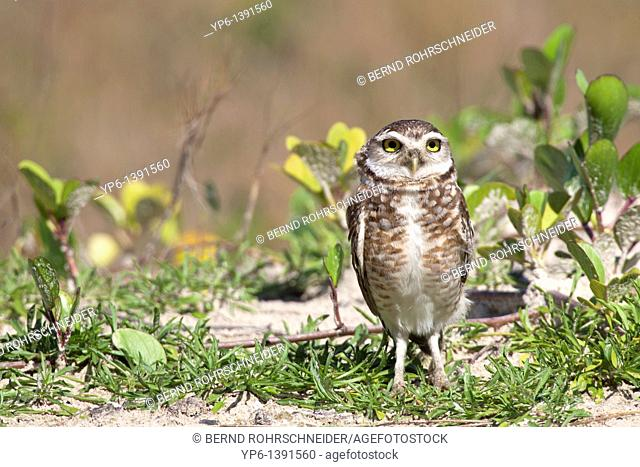 Burrowing Ow, Athene cunicularia, standing on ground, Ilha do Mel, Brazil