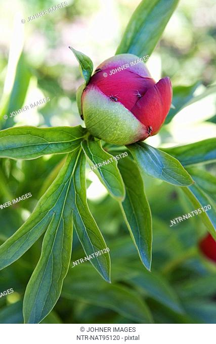 Close-up of peony bud with ants