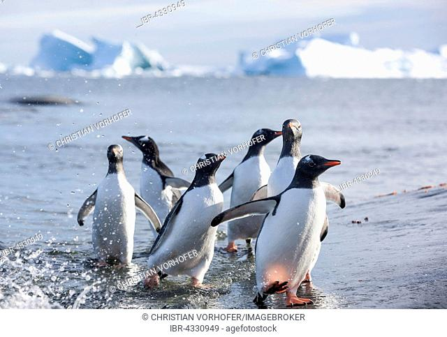 Gentoo penguins (Pygoscelis papua) on the beach, Antarctica