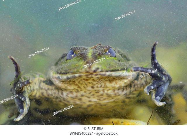 marsh frog, lake frog (Rana ridibunda, Pelophylax ridibundus), hiding under water , Germany, Bavaria