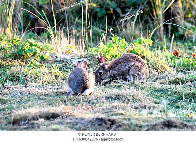 Cuniculus, local animals, free living person animals, grey sporty little jobs, grey sporty little jobs, hare-like, hunting-cash game, rabbit fur, rabbit, rabbit