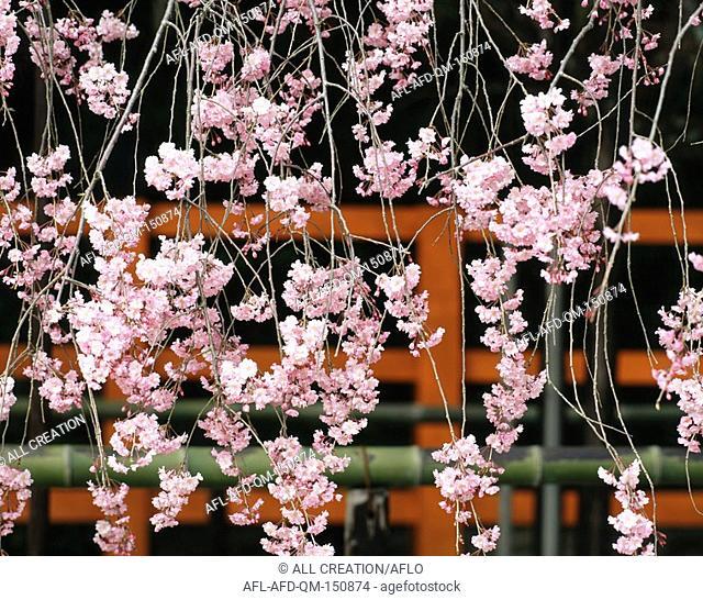 Weeping Sakura, Kyoto, Japan