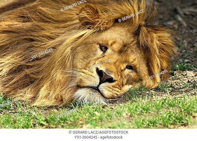 African Lion, panthera leo, Male resting, Kenya