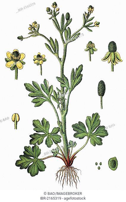 Cursed Buttercup (Ranunculus sceleratus), medicinal plant, useful plant, chromolithograph, circa 1790