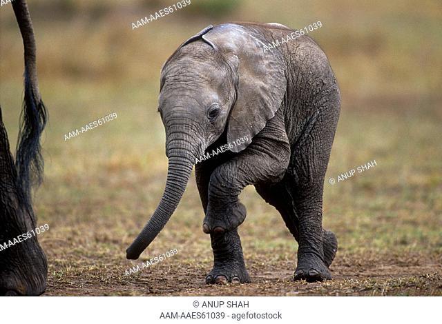 Baby African Elephant walking behind mother (Loxodonta africana) Maasai Mara National Reserve, Kenya