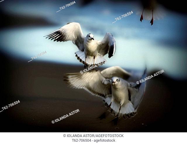 Seagulls flying in winter