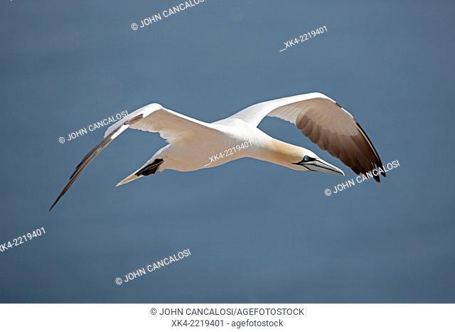 Northern gannet (Sula bassana), Canada, in flight