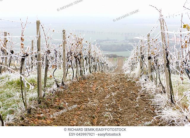 vineyards in winter, Znojmo region, Czech Republic