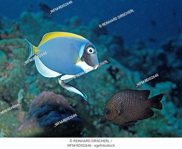 Powder blue tang and Cleaner wrasse, Acanthurus leucosternon Labroides dimidiatus, Indian ocean Ari Atol Atoll, Maldives Islands