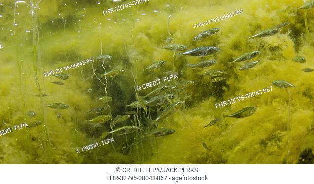 Three-spined Stickleback (Gasterosteus aculeatus) marine form, shoal, swimming in rockpool, Yell, Shetland Islands, Scotland, July