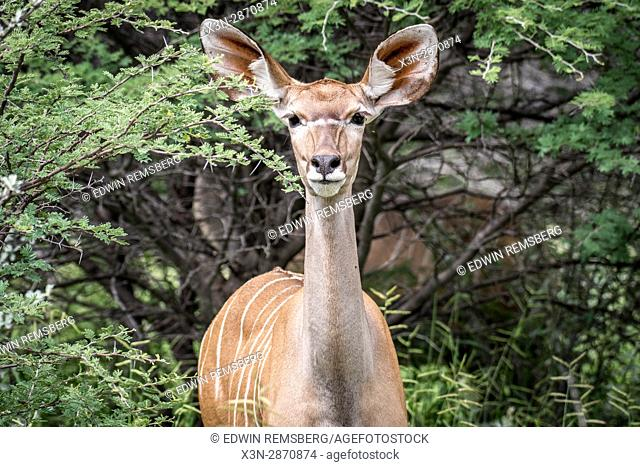 A young kudu antelope at Etosha National Park, Namibia, Africa