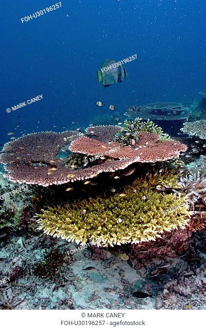 Stony Corals Acropora sp. Malaysia