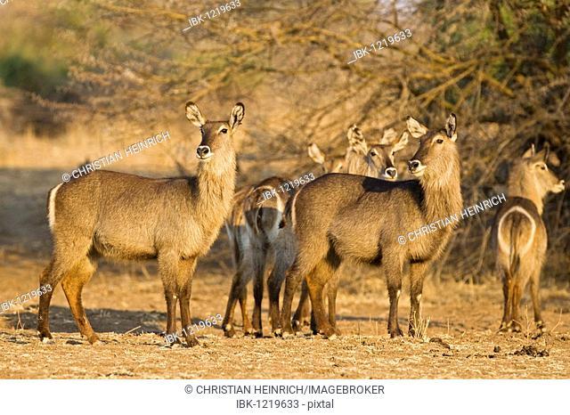Waterbucks (Kobus ellipsiprymnus), South Luangwa National Park, Zambia, Africa