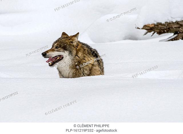 Solitary gray wolf / grey wolf (Canis lupus) hunting in deep snow in winter