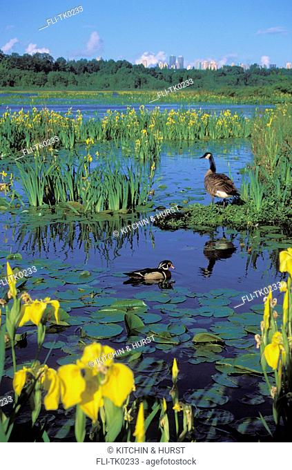 tk0233, Thomas Kitchin, Wood Duck drake & Canada Goose surrounded by yellow irises. Spring. Burnaby Lake. Burnaby, British Columbia, Canada