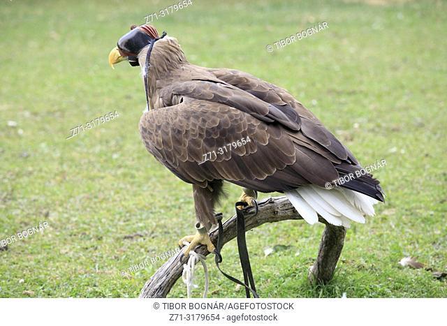 Kazakhstan; Almaty, Sunkar Falcon Centre, white-tailed eagle, haliaeetus albicilla,