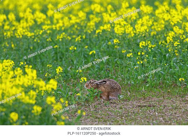 European Brown Hare (Lepus europaeus) hiding in oilseed / colza field in spring