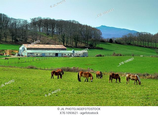 Horses grazing in the meadow  Aldatz  Navarra  Basque Country  Spain