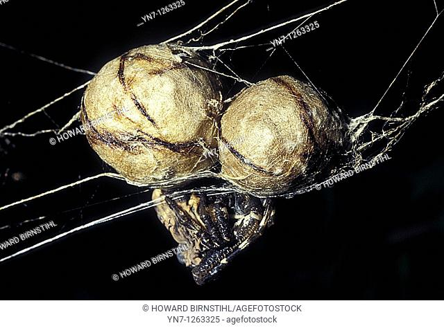 Bird dropping spider Calaenia with her eggs
