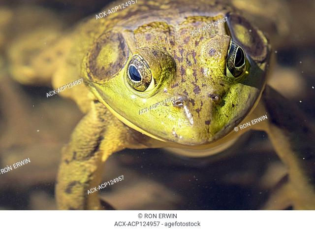 American Bullfrog (Lithobates catesbeianus) floating in Mijinemungshing Lake, Lake Superior Provincial Park, Ontario, Canada