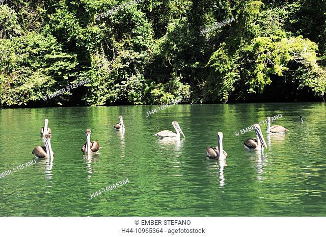 Guatemala, Central America, Rio Dulce, bird, brown, feathers, Livingston, nature, animal, pelecanus, pelican, pelicano, river, seabird, wildlife