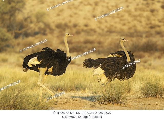 Ostrich (Struthio camelus). Male (on the left) follows a female with the intent of mating. Kalahari Desert, Kgalagadi Transfrontier Park, South Africa