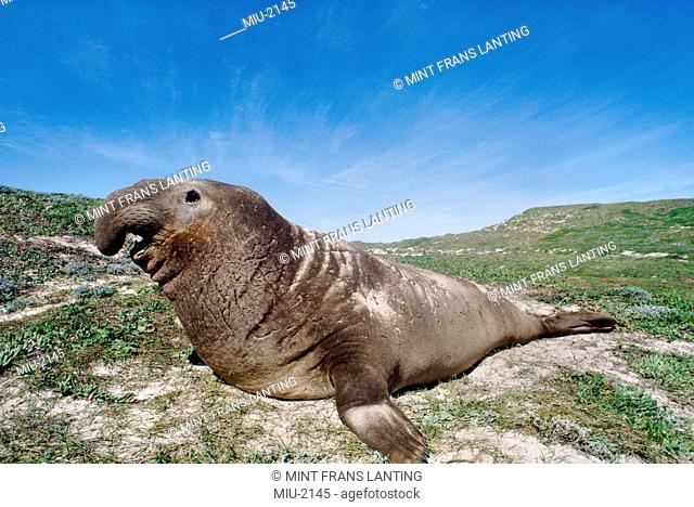 Northern elephant seal bull basking on the rocks, Mirounga angustirostris, San Miguel Island, California, USA