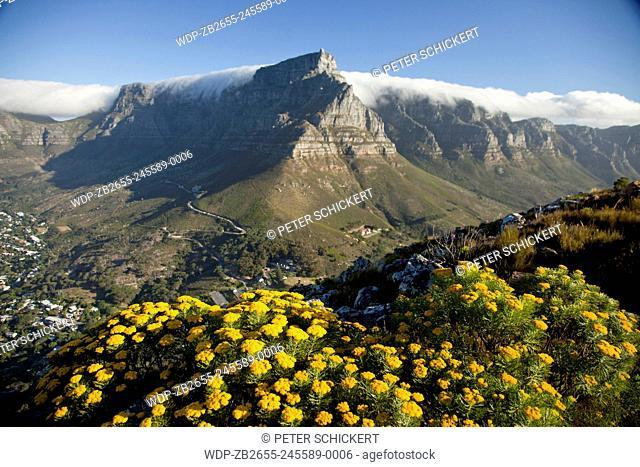 Gelbe Blüten Fynbos und der Tafelberg in Kapstadt, Westkap, Südafrika | Cape Town, Western Cape, South Africa