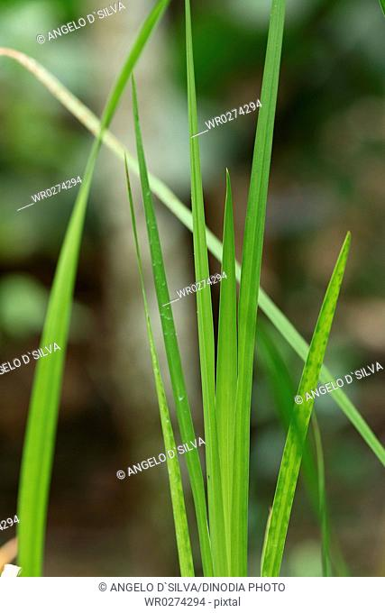 Medicinal plant common name sweet flag Botanical name Ocorus Calamus