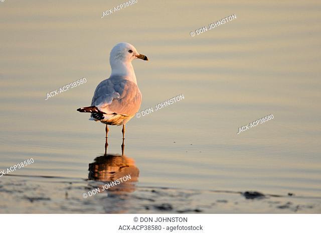 Ring bill gull Larus delawarensis