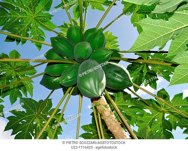 Iriomote Island Okinawa, Japan: papaya tree and fruits