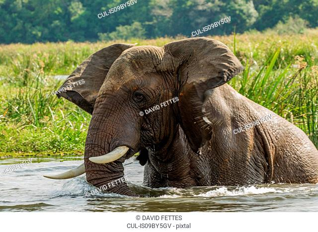 Elephant (loxodonta africana) bathing in river, Murchison Falls National Park, Uganda