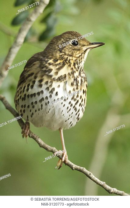 Song thrush (Turdus philomelos), Alcudia, Majorca, Balearic Islands, Spain
