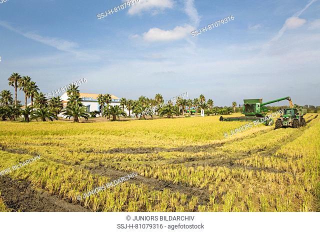 Rice (Oryza sativa) harvest at the Tramontano farm house in September. Environs of the Ebro Delta Nature Reserve, Tarragona province, Catalonia, Spain