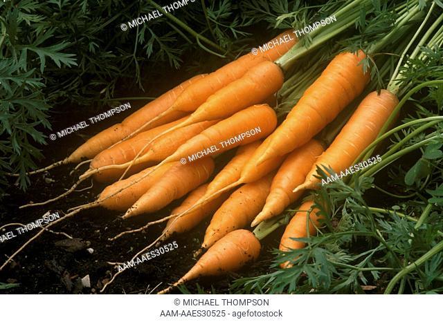 Carrot 'Nantes Tip Top', European 'Touchon' Selection, long & straight