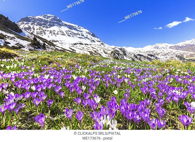 Flowering of purple Crocus nivea at Julier Pass, Parc Ela, Region of Albula, Canton of Graubünden, Switzerland, Europe