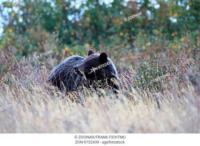 Grizzly Bear Glacier NP Montana USA
