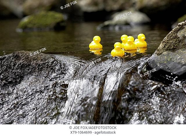 yellow plastic toy ducks on a fast flowing river going over rocks in the uk