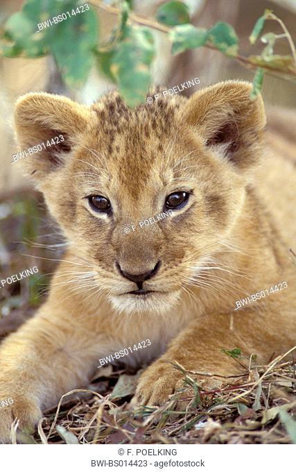 lion (Panthera leo), cub, lying, portrait,, Kenya, Masai Mara National Park