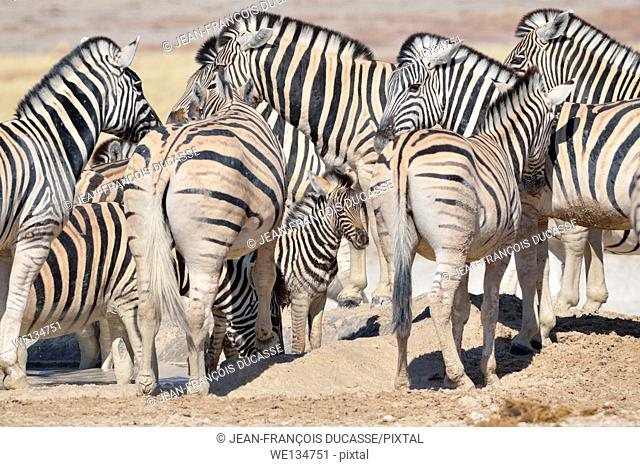 Burchell's zebra foal (Equus burchelli), in the middle of the herd, at waterhole, Etosha National Park, Namibia, Africa
