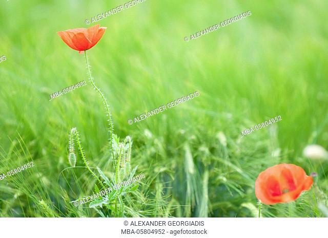 Poppy (Papaver rhoeas) in a wheat field