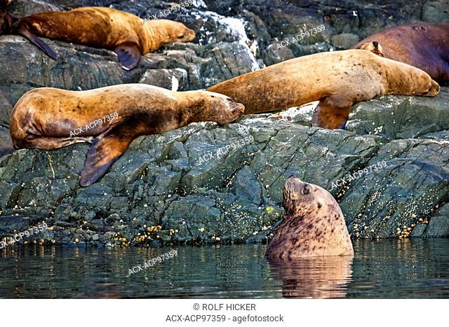Steller sea lions off Northern Vancouver Island, Vancouver Island, British Columbia, Canada