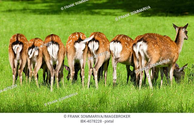 Sika Deer (Cervus nippon) in a meadow, captive, Lower Saxony, Germany