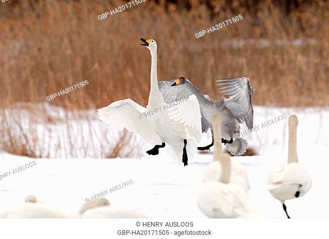 Whooper swan (Cygnus cygnus) landing, Japan