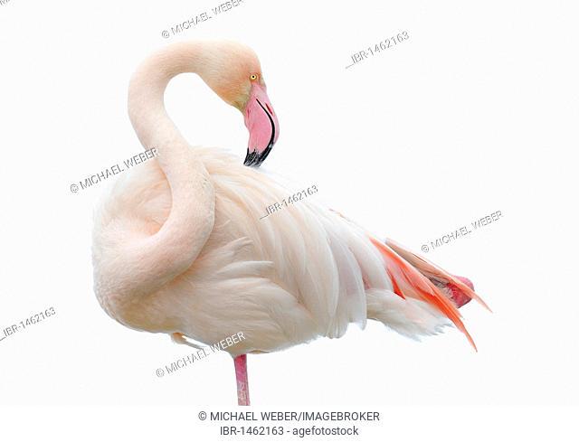 Greater Flamingo (Phoenicopterus ruber roseus) preening in Winter